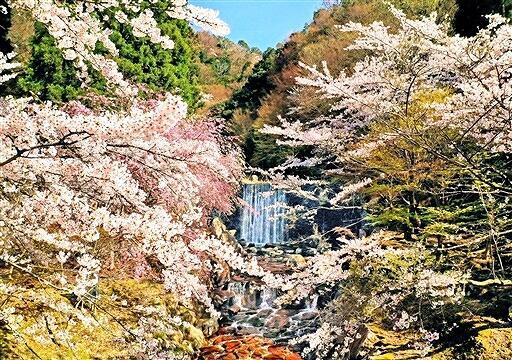 観音川沿いに広がる桜の絶景=福井県若狭町三方