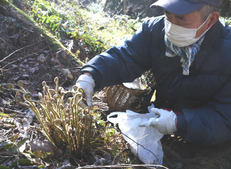 ジュウモンジシダを採る赤池さん。周辺にも群生していた=11日、長野市