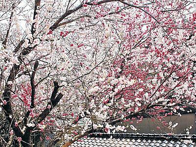 小松の源平桃 紅白の花が交じって満開