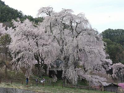 桜、包み込むように 伊那・高遠の勝間薬師堂