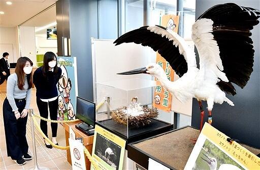 市民に親しまれたコウノトリ「えっちゃん」とヒナの剥製=4月14日、福井県越前市役所