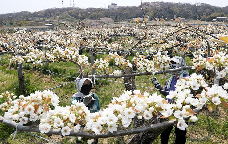 丘陵一面に咲いたナシの花。農家の応援スタッフが授粉作業に追われた(草東良平撮影)