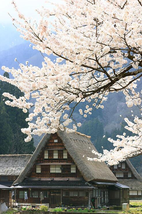 合掌造りに映える満開の桜