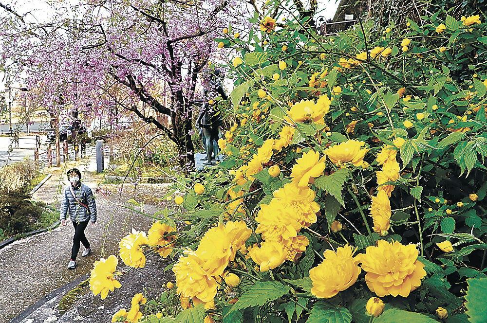 枝垂れ桜の下で花を咲かせるヤマブキ=清川町