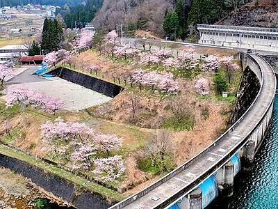 ダム湖の深い緑に映える名残の桜 福井県大野市川合