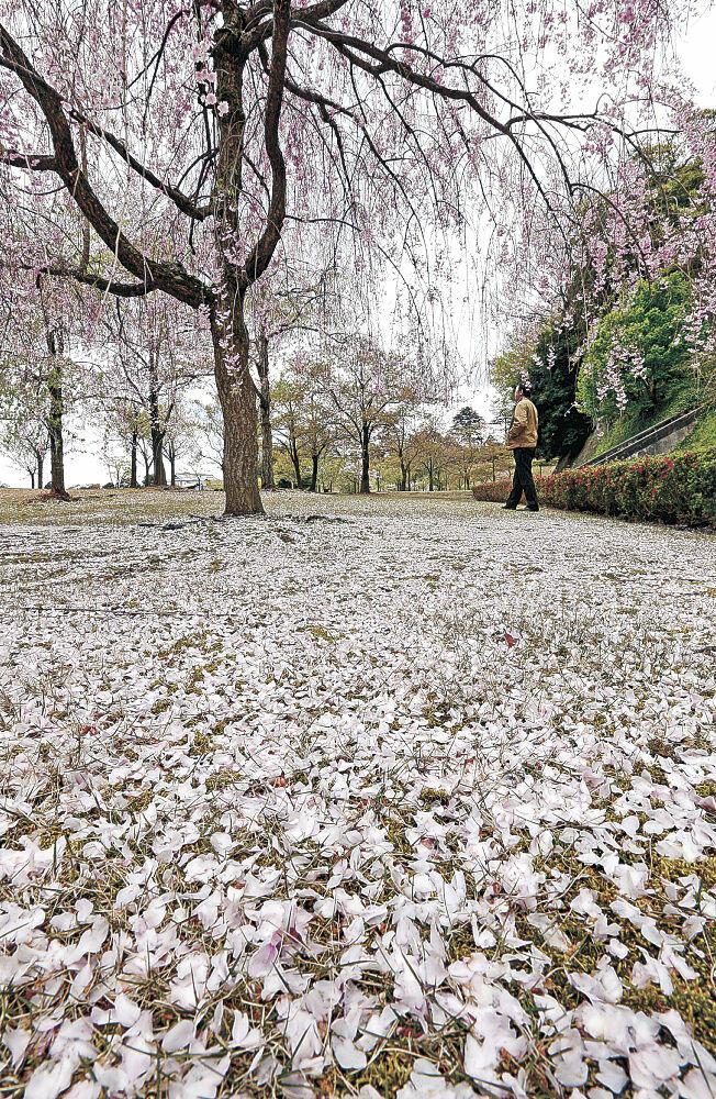 じゅうたんのような花びらで覆われた芝生=金沢城公園新丸広場