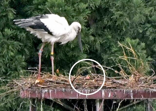 ひな(円の中央)に餌を運んできたコウノトリの親鳥=4月20日、福井県越前市安養寺町