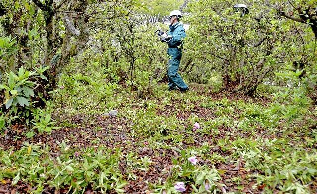 咲き始めたツツジを剪定する作業員=4月22日、福井県鯖江市西山公園