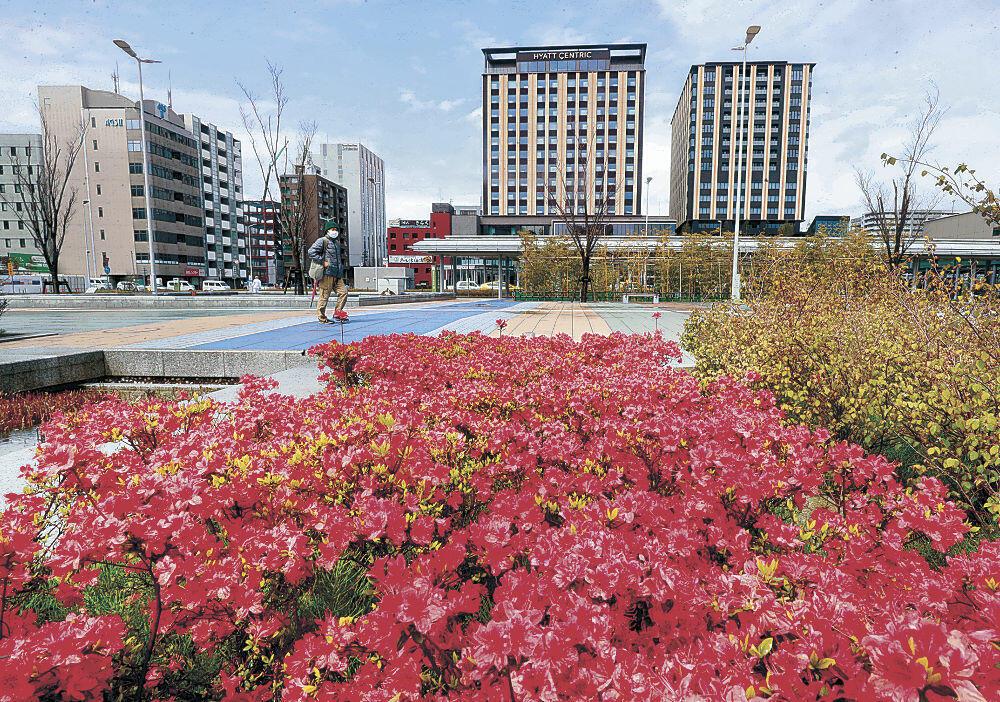 深紅の花びらが見ごろを迎えた花壇=金沢駅西広場