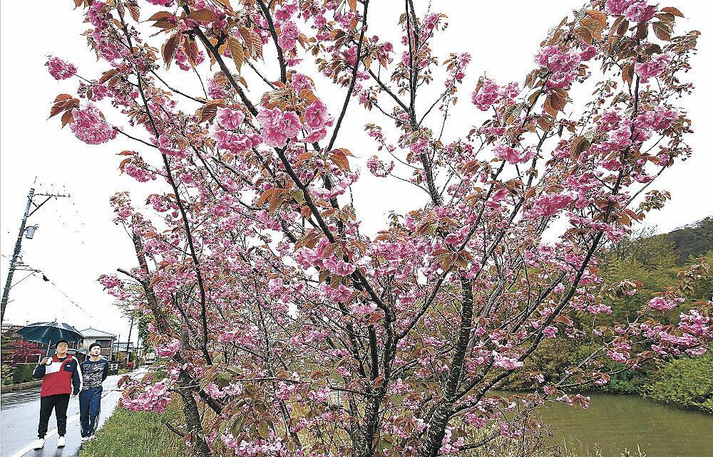八重桜に見入る住民=加賀市大聖寺上福田町