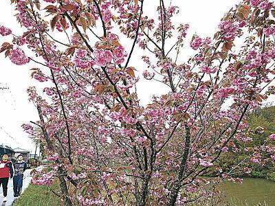 雨に濡れ八重桜映える 加賀・上福田旧大聖寺川沿い