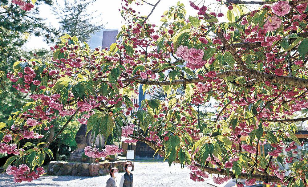 見頃を迎えた菊桜=尾山神社