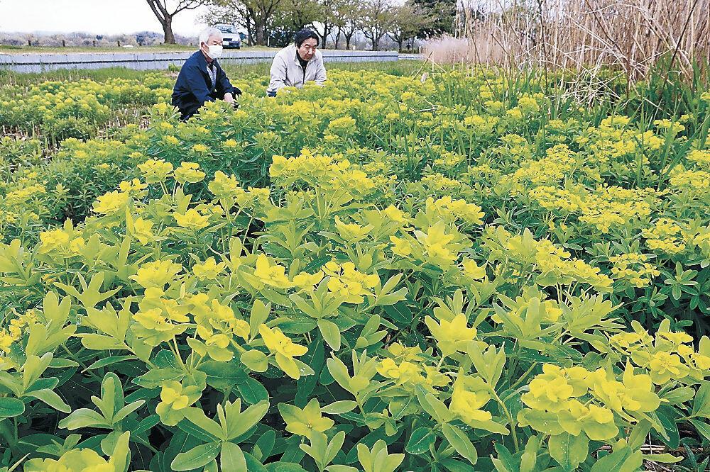 黄と緑色の対比が鮮やかなノウルシ=小松市の木場潟公園