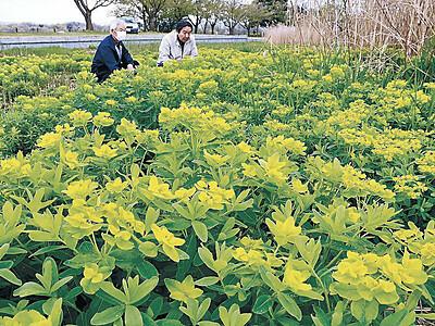 ノウルシ黄色く色づく 小松・木場潟公園