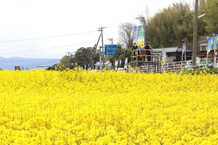 道路沿いに咲き誇る菜の花=24日、佐渡市沢根