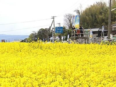黄色一面ほっと一息 佐渡・沢根、菜の花見頃