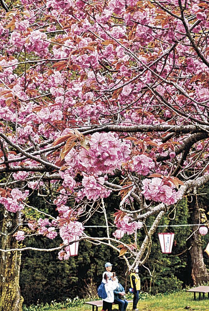 見頃を迎えた八重桜=津幡町と小矢部市境の倶利伽羅山