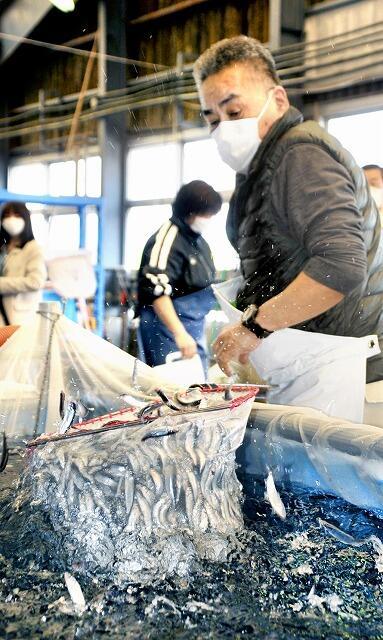 水槽から運び出され、ぴちぴちと跳ねる稚アユ=4月27日、福井市の福井県内水面総合センター