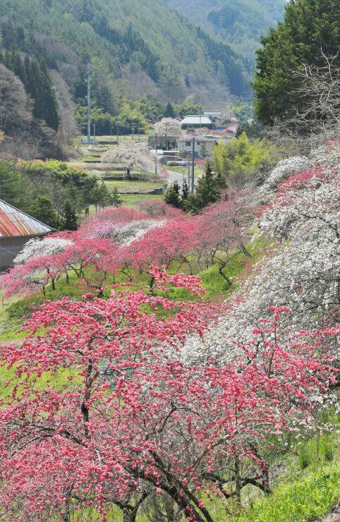 余里川沿いに植えられ、見頃を迎えたハナモモ=30日午前11時23分、上田市武石余里