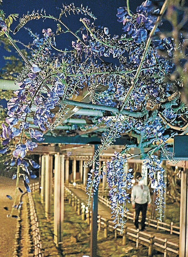 青色の光で照らされた藤棚=小松市の芦城公園