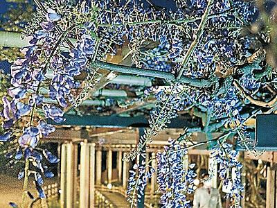 小松・芦城公園 藤棚を青くライトアップ