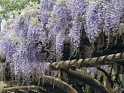 白山市の公園 フジ棚、鮮やかに咲き誇る