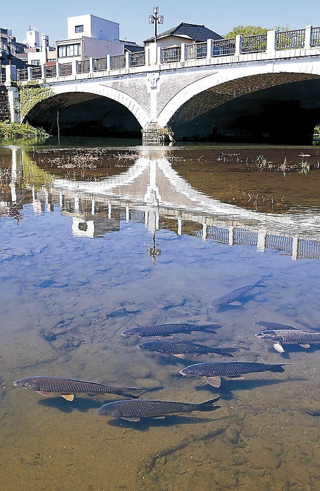 「鯉流し」が中止となり、本物のコイが泳ぐ浅野川=東山1丁目