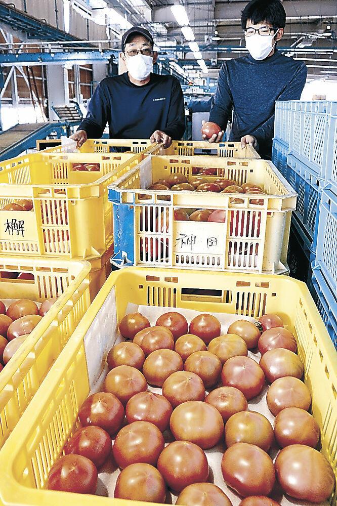 出荷が始まった大玉の春トマト=小松市今江町1丁目