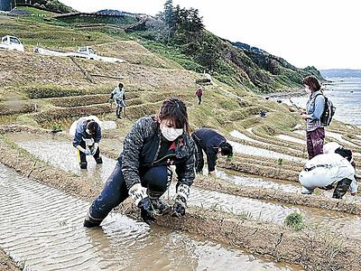 千枚田、市民が守る コロナでイベント中止 オーナーに代わり苗植え