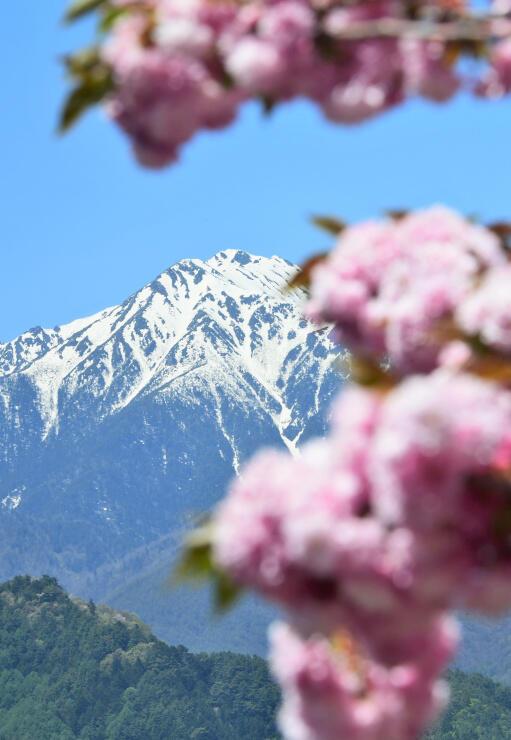 常念岳に現れた雪形「常念坊」(中央上)。八重桜に囲まれ、お花見を楽しんでいるかのよう=安曇野市堀金烏川