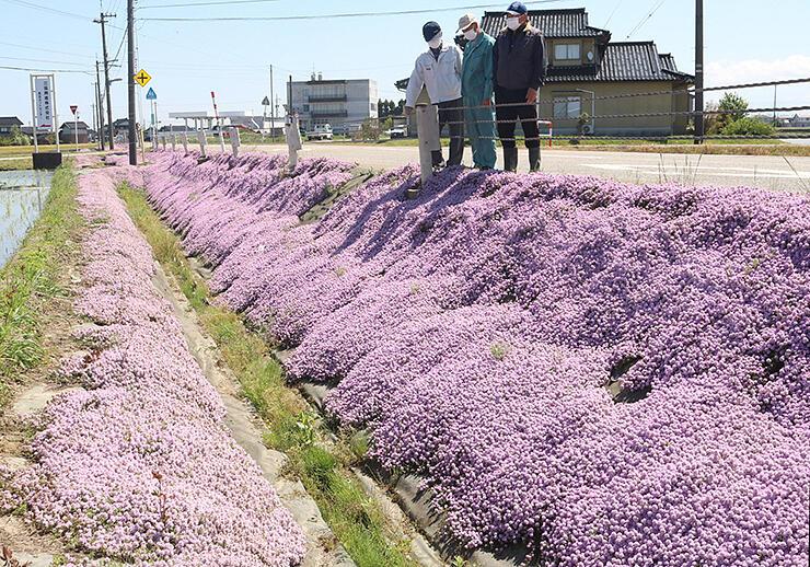 のり面を薄紫に彩るタイム=砺波市高波