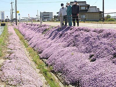 県道沿いに紫じゅうたん 砺波、タイム満開