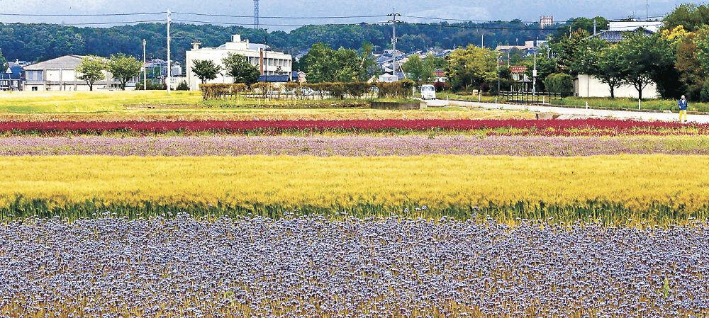 3種の花が見頃を迎え、大麦を加えた4色の帯が広がる休耕田=能美市石子町