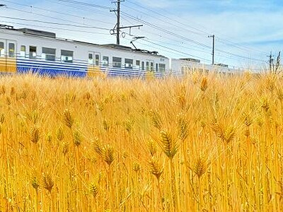 麦秋、一面の黄金色 坂井の田んぼ