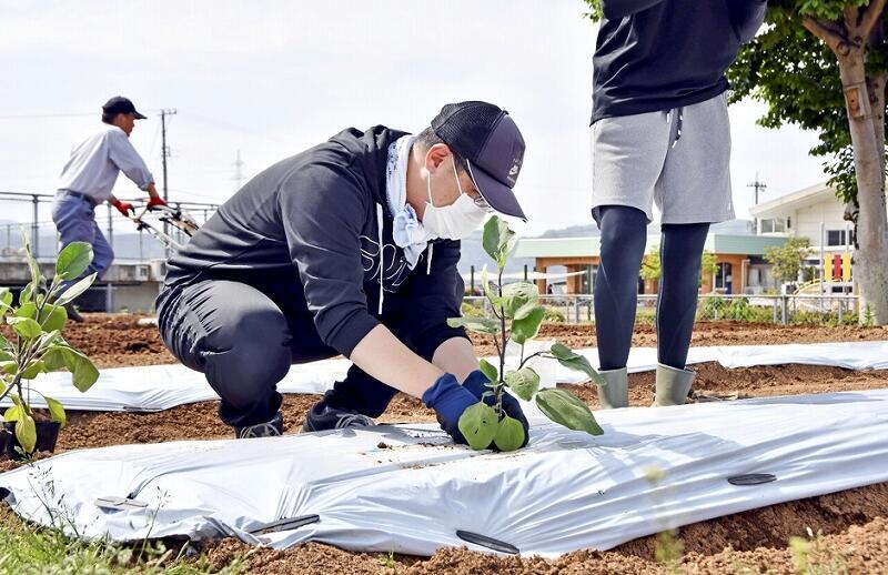 吉川ナスの苗を植える教諭=5月12日、福井県鯖江市吉川小