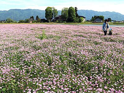 ピンク色一面に 福野でレンゲソウ満開