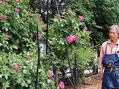多彩なバラ 色鮮やか 射水の小島ローズガーデンで見頃