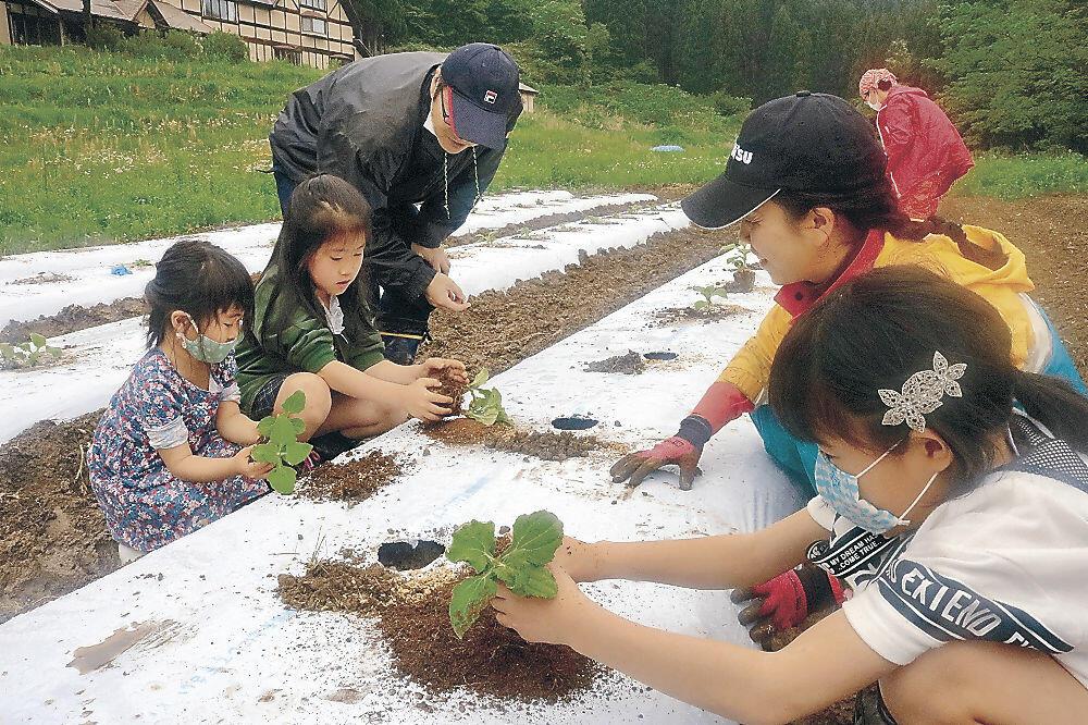 ヤーコンの苗を植える参加者=白山市女原