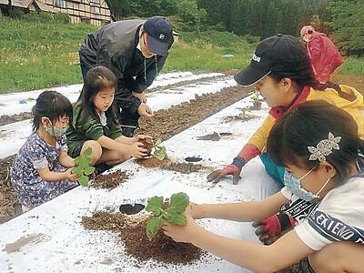 特産の健康野菜 白山麓でヤーコン栽培