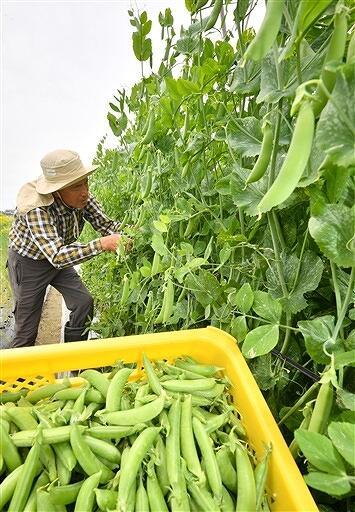 収穫がピークを迎えたスナップエンドウ=福井県福井市高木町
