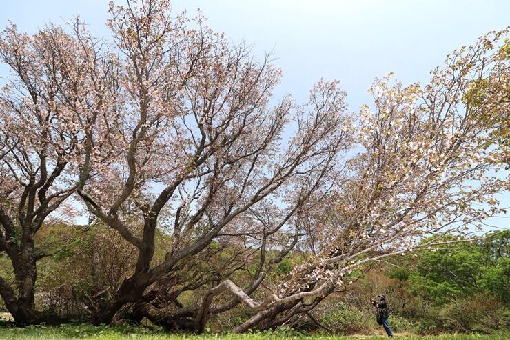 新緑の中、鮮やかに花を咲かせる千竜桜=18日、佐渡市中興