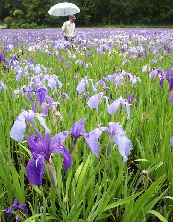 広い湿地に群生するカキツバタ=19日、長岡市大積町3