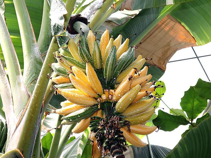 実と葉に白いしま模様があるふ入りバナナ=県中央植物園