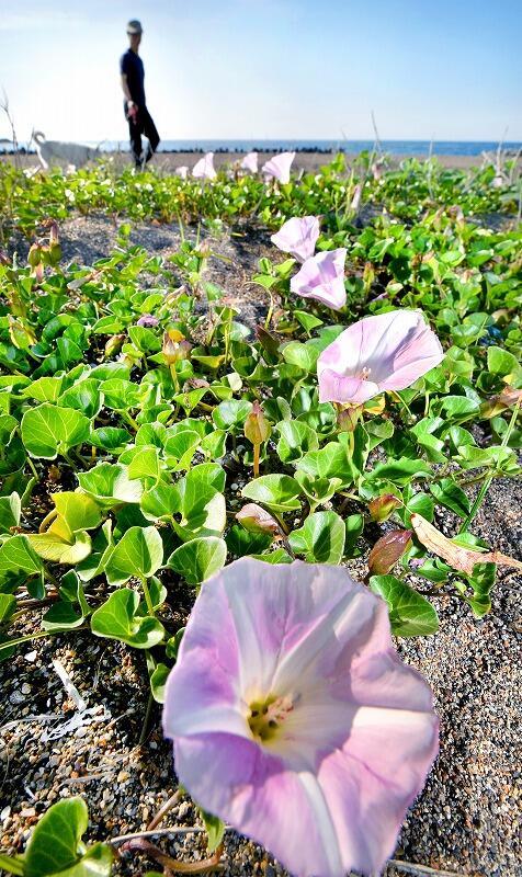 鷹巣海水浴場の砂浜に咲くハマヒルガオ=5月23日、福井県福井市浜住町