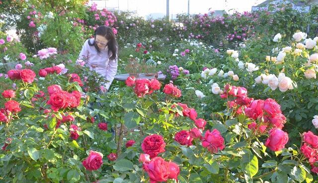 約100種類が見ごろを迎えているバラ園=福井県坂井市春江町随応寺中央