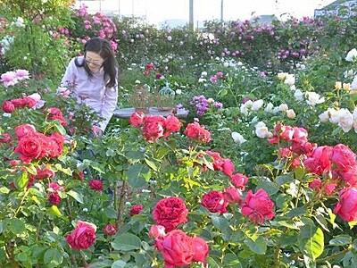 満開のバラ園、動画配信も 福井県坂井市「恋人に捧げるバラ園」
