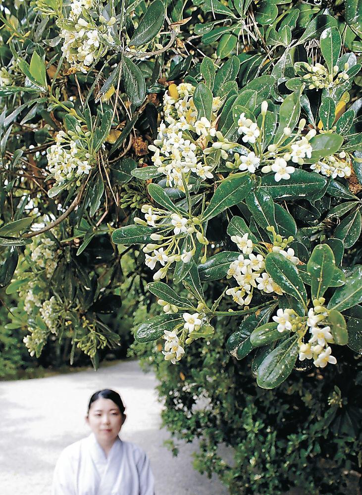 見頃を迎えたトベラの花=小松市の安宅住吉神社