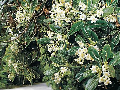 トベラ2千本甘い香り 小松・安宅住吉神社で見頃