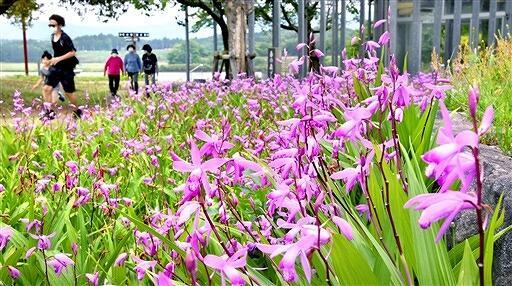 風に揺れる無数の花が来園者を癒やしているシラン=5月25日正午ごろ、福井県あわら市北潟湖畔公園