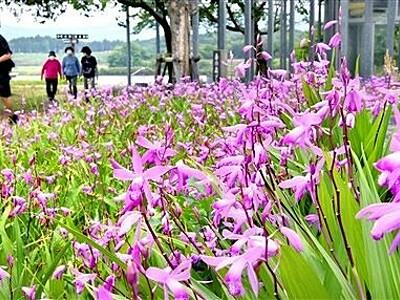 癒やしの薄紫、シランの花 あわら市の北潟湖畔